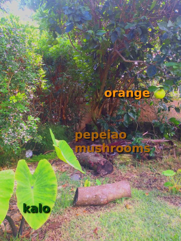 forest garden - orange pepeiao kalo
